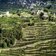 Wineyards in Valtellina